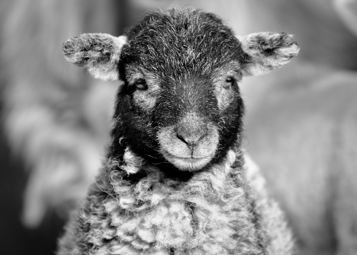 Herdwick lamb in Lake District black and white photograph